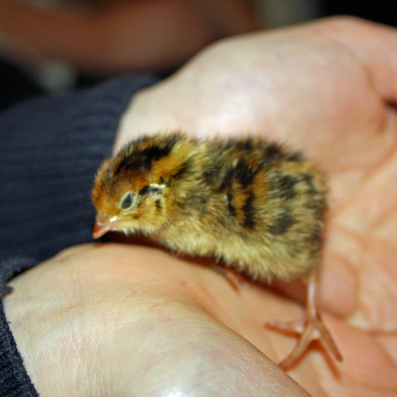 2 day old quail chick