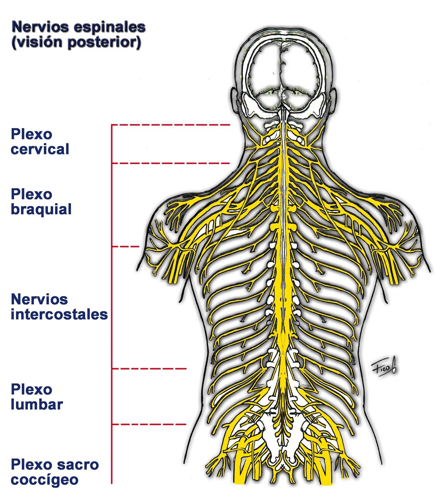 Anatomia en Taller: SISTEMA NERVIOSO PERIFERICO-visión posterior ...