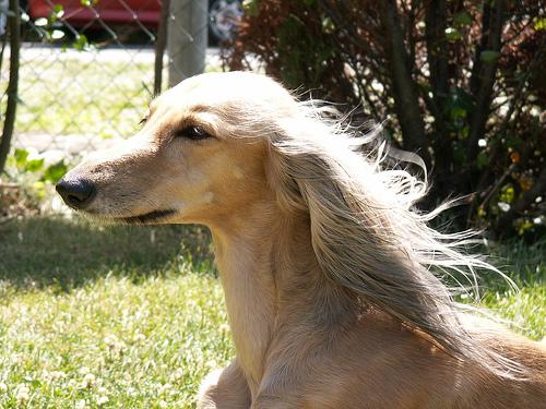 saluki dog. interesting dog breed - saluki p