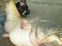 Fantastis, Pemancing Tangkap Lele Seberat 120 Kg