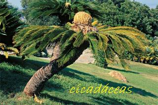 reserva de la biosfera selva del ocote Cicad%C3%A1ceas