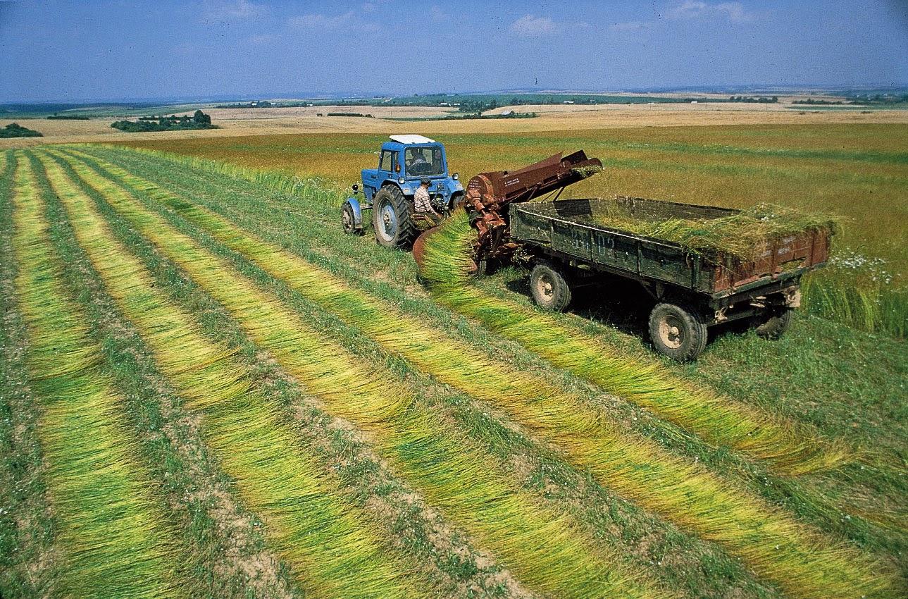 panen tanaman rami flax untuk serat linen
