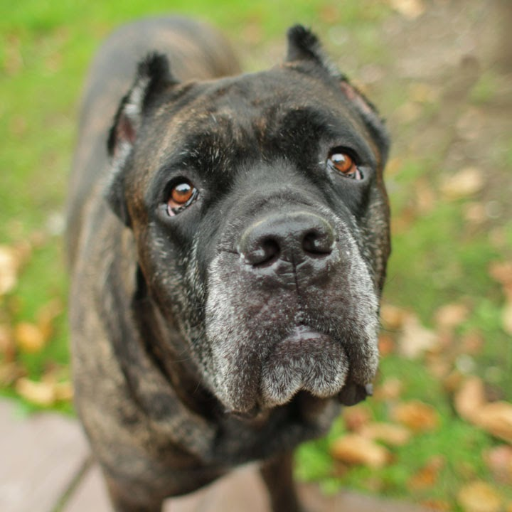 Displaying (18) Gallery Images For Cane Corso Mastiff Mix...