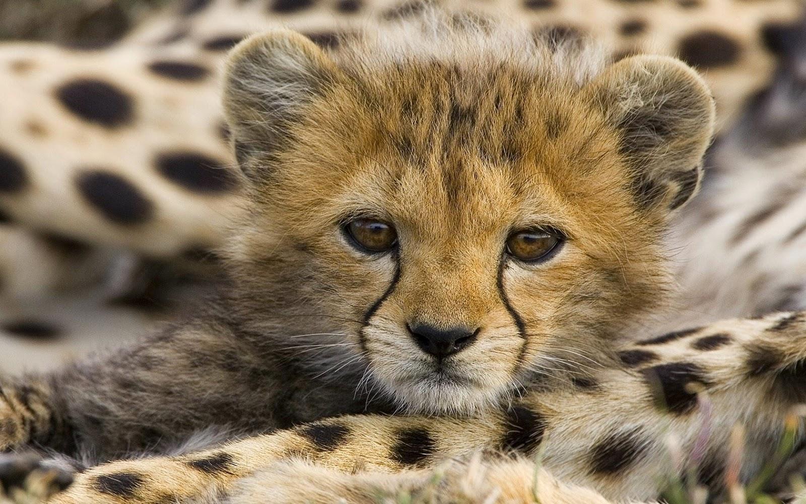 Cheetah GUEPARDO Acinonyx jubatus