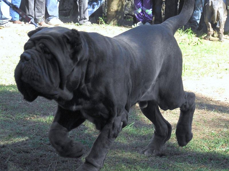 mastiff wallpaper neapolitan mastiff wallpaper