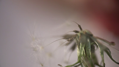 extreme close up of a dandelion and it's seeds, the background is heavily out of focus