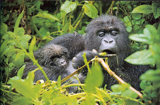 BABY GORILLA WITH MOTHER