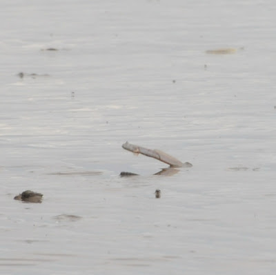 Serpent Mudskipper (Parapocryptes serperaster)