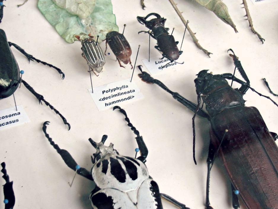 bugfest-2013-beetle-exhibit-raleigh-nc