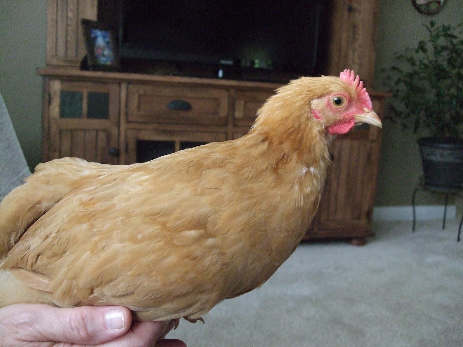 pam u0027s backyard chickens omg it u0027s a roo
