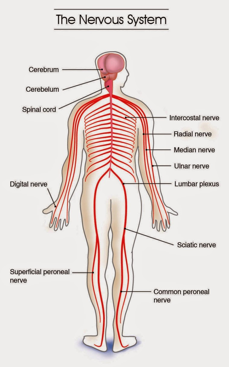 The Nervous System Lessons Tes Teach