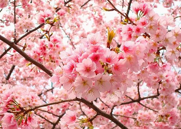 20 Gambar Bunga Sakura Di Jepang