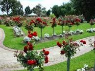 manfaat bunga mawar, khasiat bunga mawar, bunga mawar, budidaya jamur, budidaya jamur tiram, cara menanam tomat, budidaya cabe;