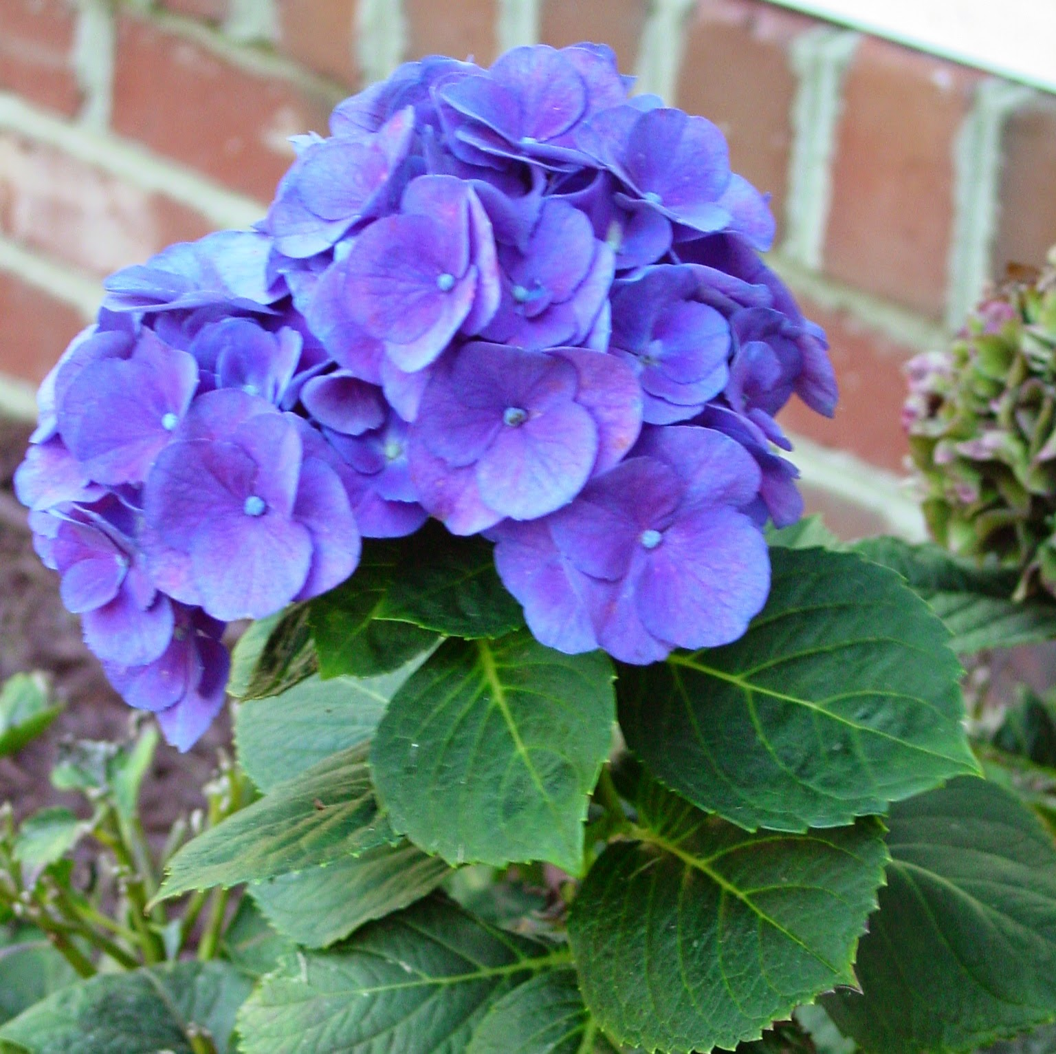 Hydrangea: 1st PINK, 2nd Pink/Blue, 3rd Almost Purple/blue