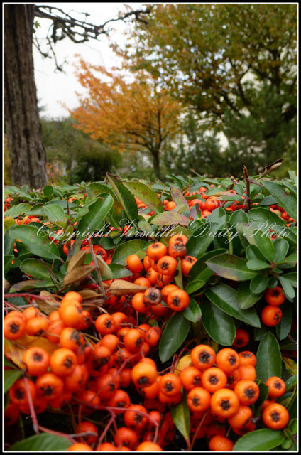 Baies berries Versailles autumn