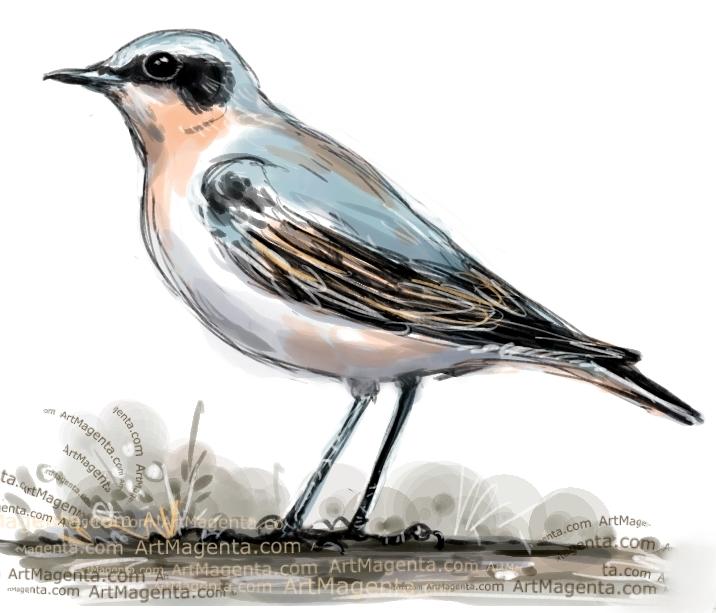 Wheatear sketch painting. Bird art drawing by illustrator Artmagenta