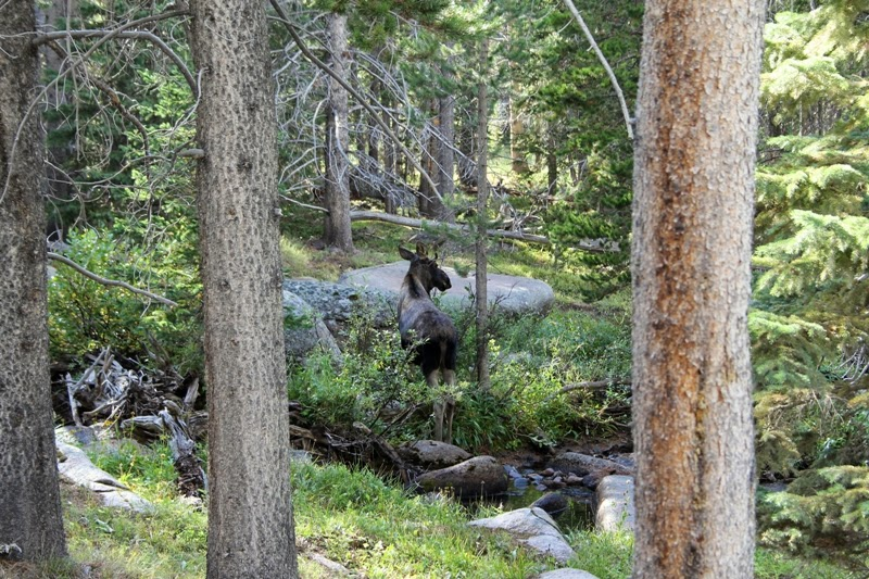 Moose in the Bighorn Mountains, WY