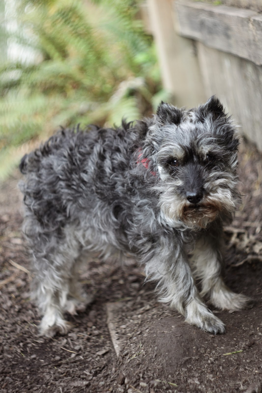mini schnauzer hope, A Day in the Life, Photo-A-Day April 2015, Day 21, by Lisa Miller