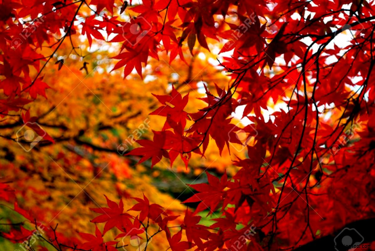 Red And Orange Japanese Maple Tree Leaves In Autumn Season Stock