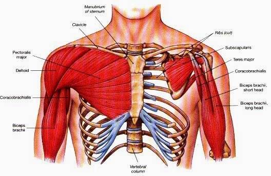 Ciencias de Joseleg: Músculos ventrales pectorales