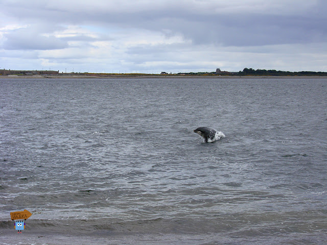 Delfines en Fortrose - Escocia
