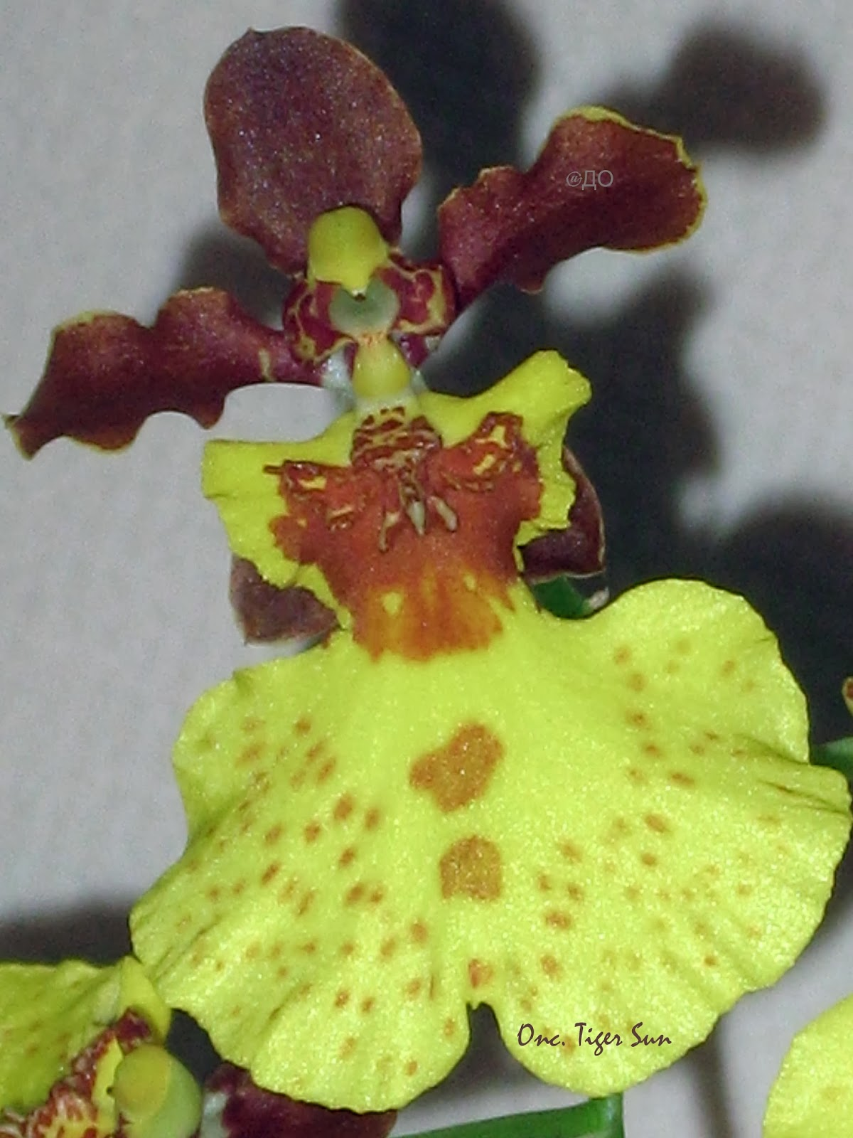 Oncidium Tiger Sun - Цветок