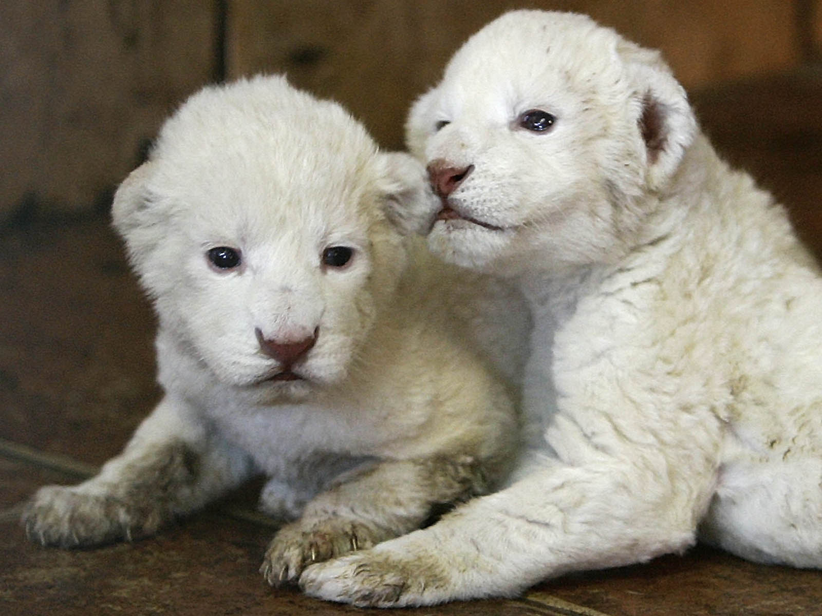 Baby White Lion Pictures  2013 Wallpaper