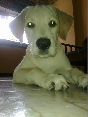 Adopt a Labrador