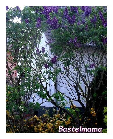 Garten Flieder