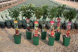 Estilo y hogar rboles frutales peque os para terrazas o for Viveros de arboles en madrid