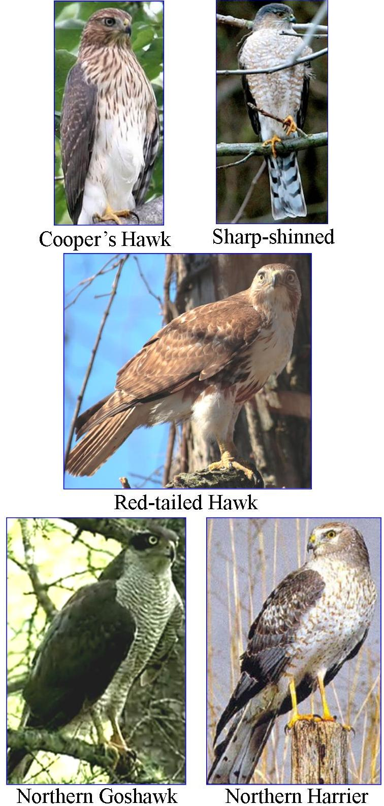 Wild birds unlimited most common winter hawks in michigan the most common neighborhood winter hawks in michigan are the sharp shinned hawks and the coopers hawks they are usually woodland hunters and with their publicscrutiny Gallery