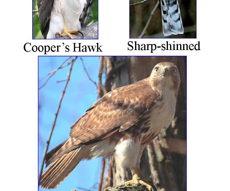 Wild birds unlimited most common winter hawks in michigan publicscrutiny Gallery