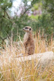 cute meerkat pictures