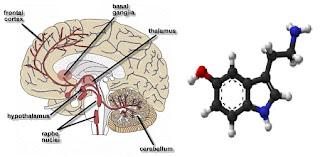 Serotonim adalah cairan otak yang terdiri dari zat-zat kimia yang mengatur apa saja yang sobat lakukan, pikirkan ataupun yang sobat rasakan