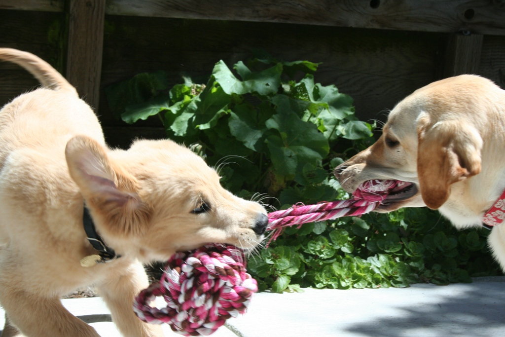 cabana and puppy montego playing tug with a pink rope toy, montego has the big knotted end in his mouth while cabana has a little piece of the toy in her mouth as she struggles to keep her grasp