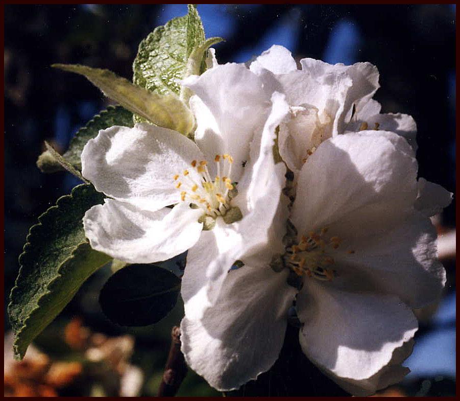 La cuisine de l 39 argonnais une pomme locale la belle for La belle fleur