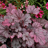 HEUCHERA SUGAR BERRY.