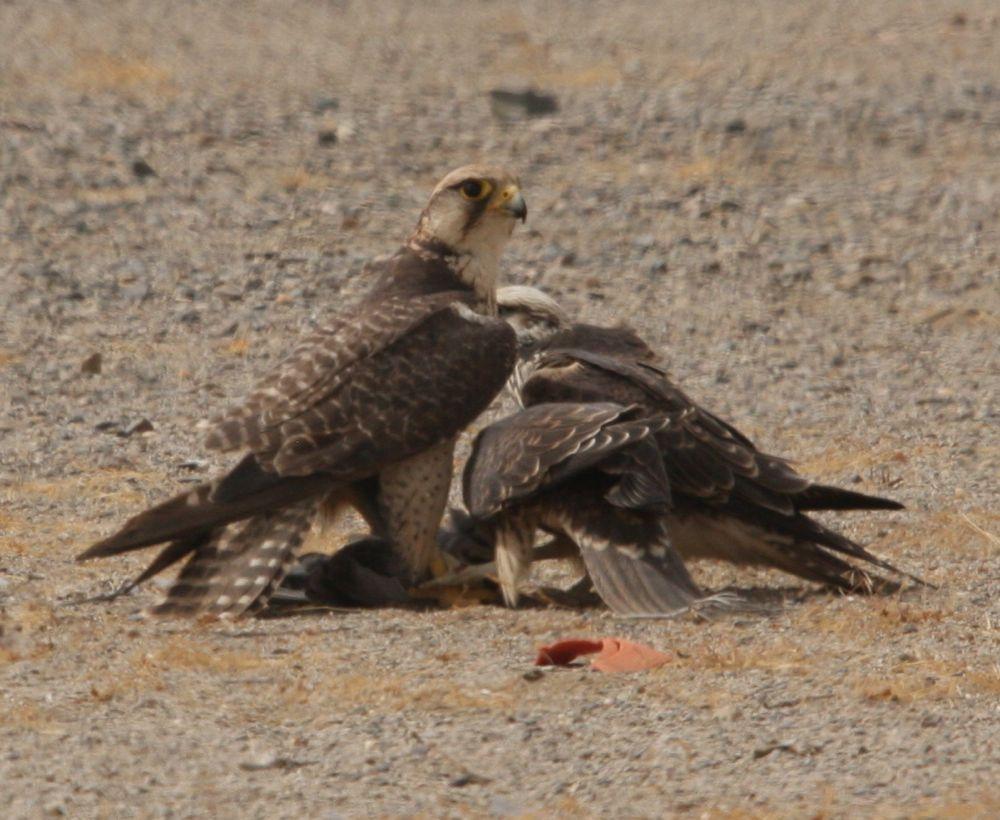 Falconiformes. sub Falconidae - sub fam Falconinae - gênero Falco Lanner+Falcons