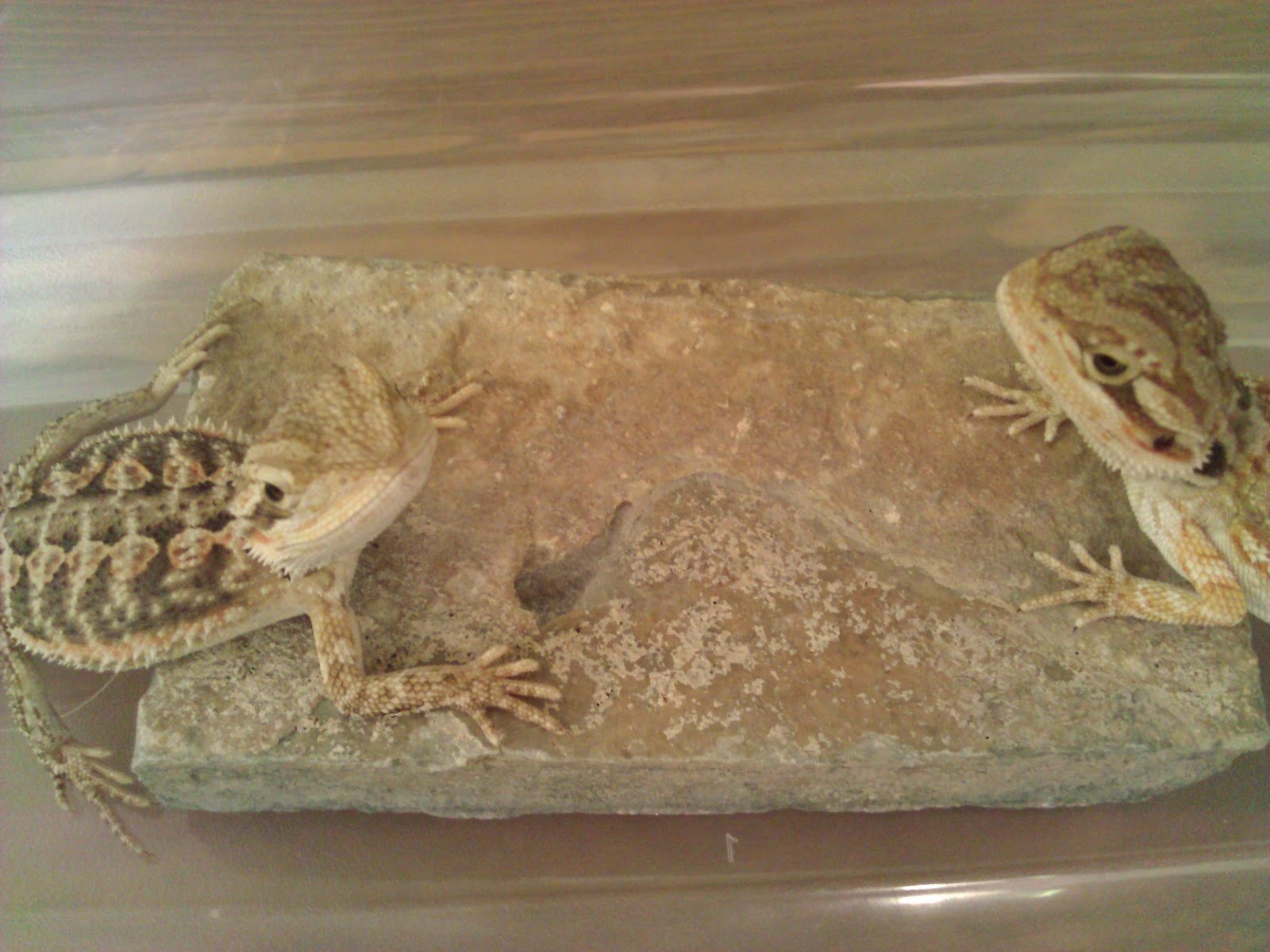 bearded dragon stories mario and luigi the dynamic duo. Black Bedroom Furniture Sets. Home Design Ideas