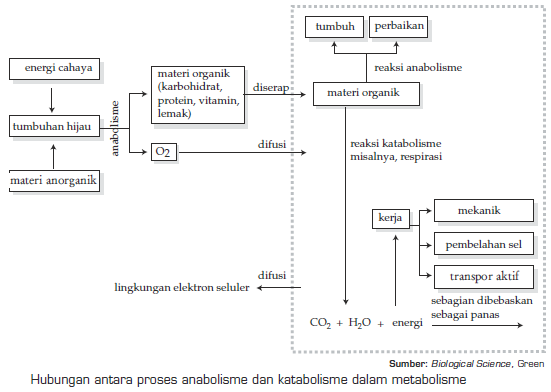 Hubungan katabolisme dan anabolisme hubungan metabolisme hubungan katabolisme dan anabolisme hubungan metabolisme karbohidrat lemak dan protein ccuart Choice Image