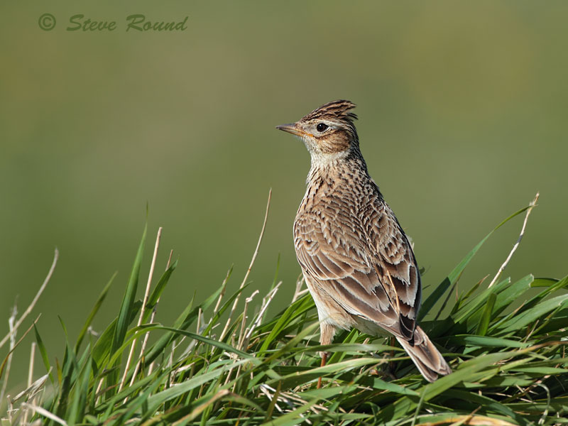 Skylark, lark, bird, nature, wildlife