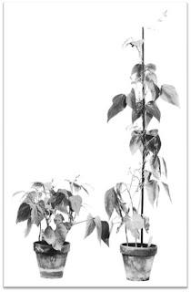 Elongation of dwarf plants