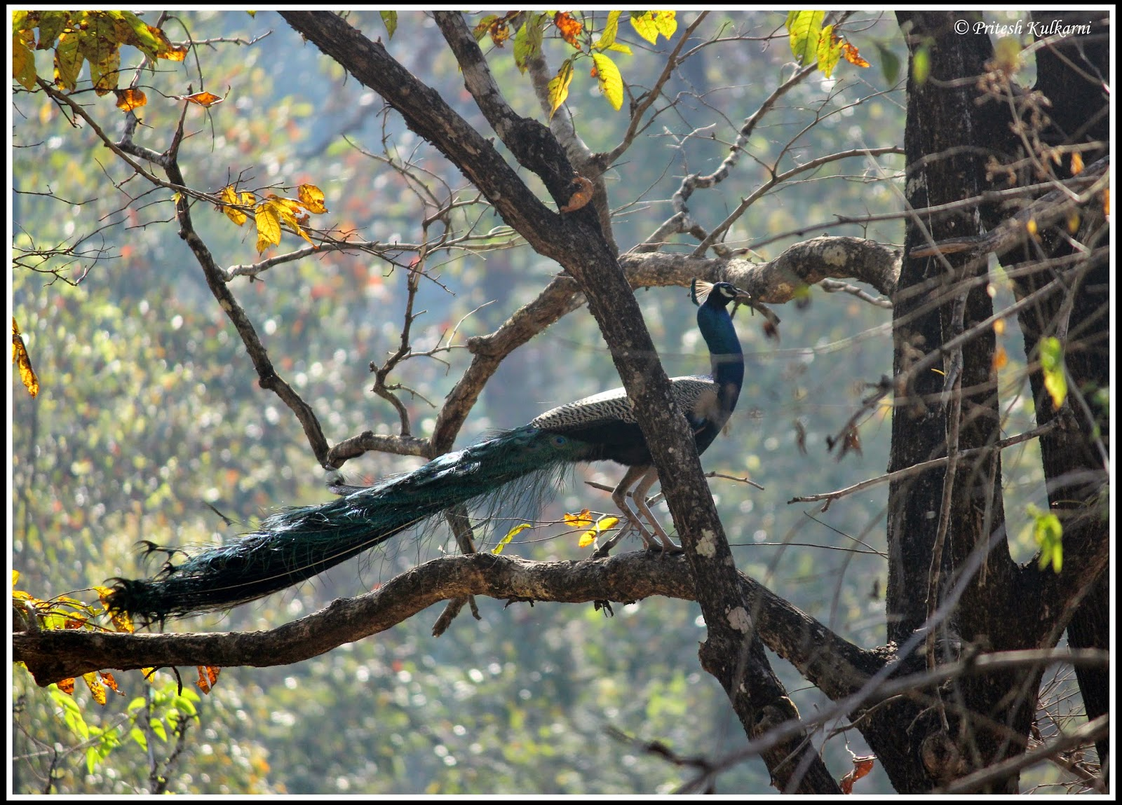 Peacock at Bhadra WLS