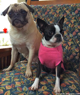 Liam the pug and Sinead the Boston terrier look alert