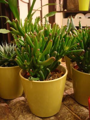 Fleuriste isabelle feuvrier le crassula portulacea hobbit for Plante crassula