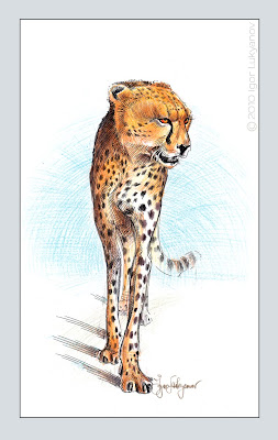a walking cheetah drawing (wild African animal illustration, sketch)