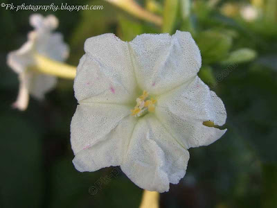 White Four O'clock Flower