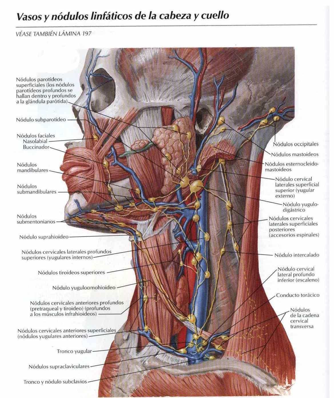 Atlas, anatomía: Vasos y módulos linfáticos de la cabeza y cuello ...