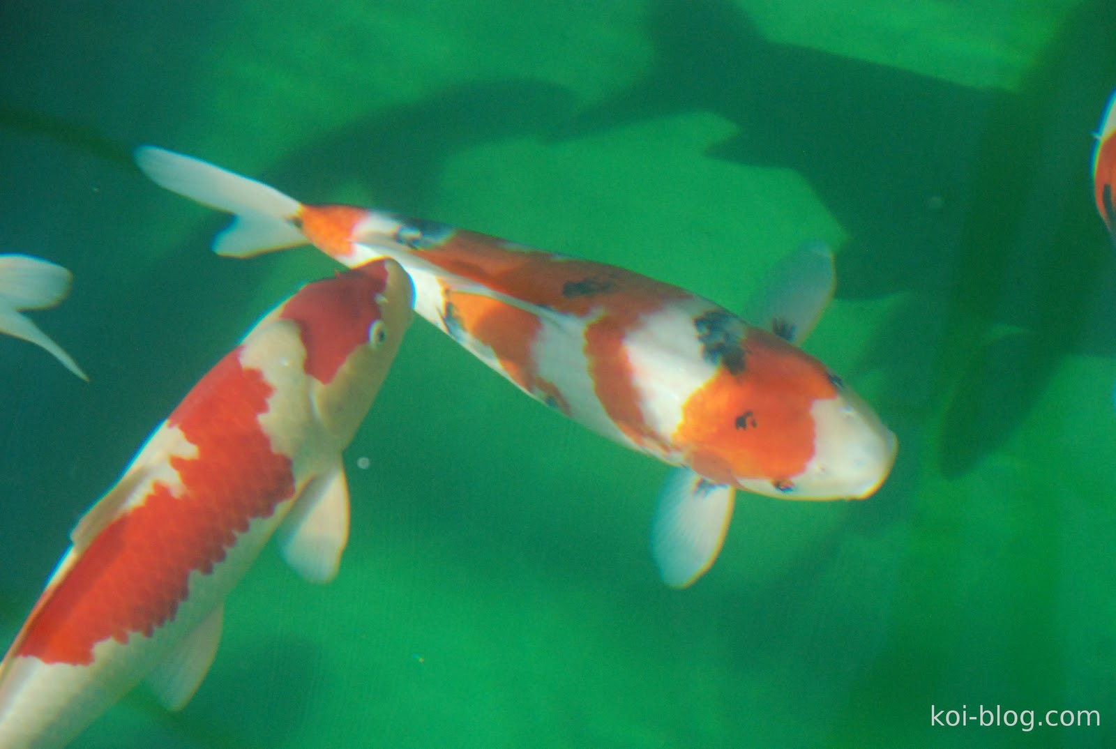 Koi blog koi for Koi carp pond depth