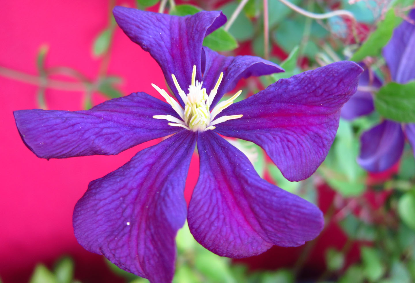 clematis etoile violette michael king garden photographer 39 s association clematis 39 etoile. Black Bedroom Furniture Sets. Home Design Ideas